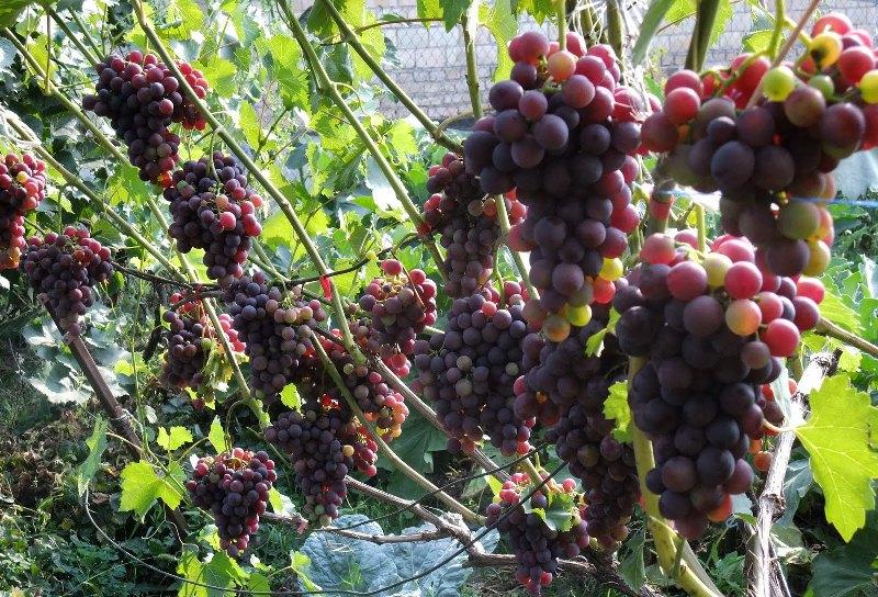 Уход за виноградом весной