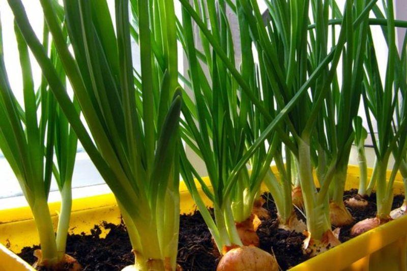 Выращиваем лук на подоконнике