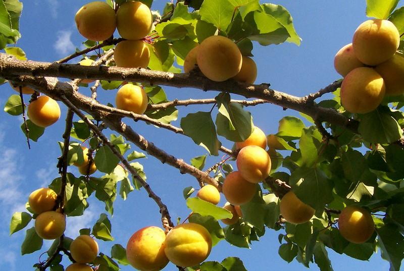 Выращивание абрикоса из косточки