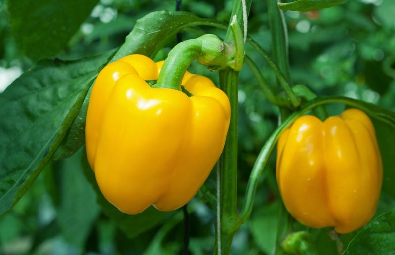 Как вырастить сладкий перец
