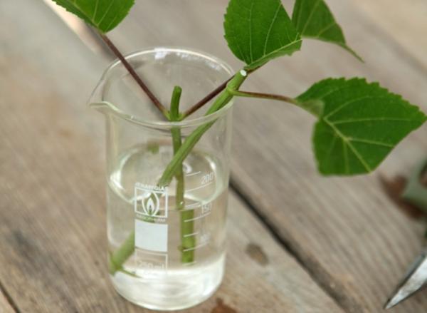 выращивание гортензий
