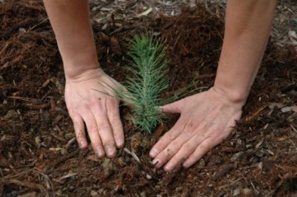 Выращивание сосны